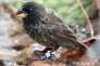 Sur Daphne Major, un individu de la nouvelle espèce de pinsons, les «Big birds»