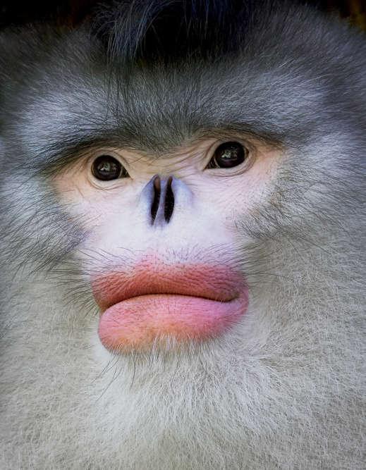 Les scientifiques ont découvert les rhinopithèques du Yunnan dans les années 1890, avant de perdre leur trace jusqu'en1962, quand un autre spécimen est aperçu. Ils sont l'un des primates les plus insaisissables de la Terre. Ils sont semi-nomades et vivent à une altitude plus élevée que tout autre singe, supportant des températures très basses (jusqu'à – 40°C), dans les forêts de bambous des montagnes du Hengduan, dans le sud-ouest de la Chine. Mais ces populations sont si petites et si isolées qu'elles n'ont peut-être pas assez de diversité génétique pour survivre au cours des siècles à venir.