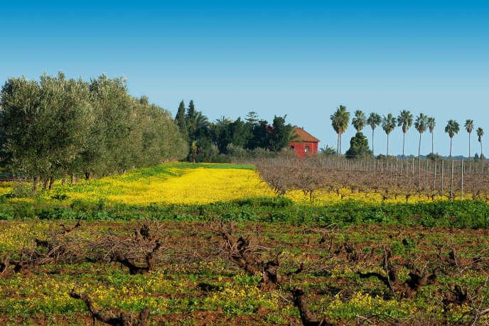 Les vignobles de La Ferme rouge, au Maroc.