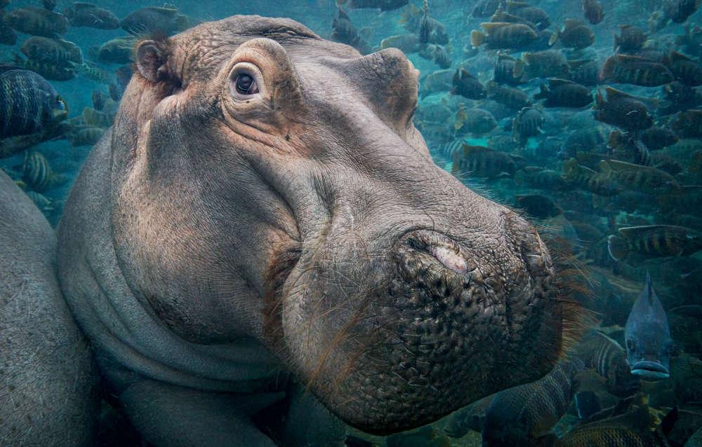 En 2003, des enquêtes ont montré que le nombre d'hippopotames avait chuté de95% au cours des huit années de guerre civile en République démocratique du Congo. Les hippopotames sont chassés pour la viande de brousse mais sont aussi devenus la cible des braconniers intéressés par leurs canines en ivoire à la suite de l'interdiction du commerce de l'ivoire d'éléphant en1989. Le commerce international est restreint, mais la loi n'est pas encore appliquée sur le terrain. Aujourd'hui, les éléphants africains sont quatre fois plus nombreux que les hippopotames.