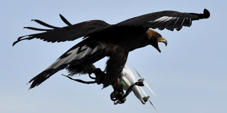 L Aigle Vaincu Par Le Drone