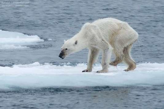 Un ours polaire famélique dans l'archipel norvégien du Svalbard, en août 2015.