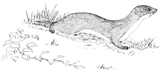 Une belette, illustration du XIXe siècle.