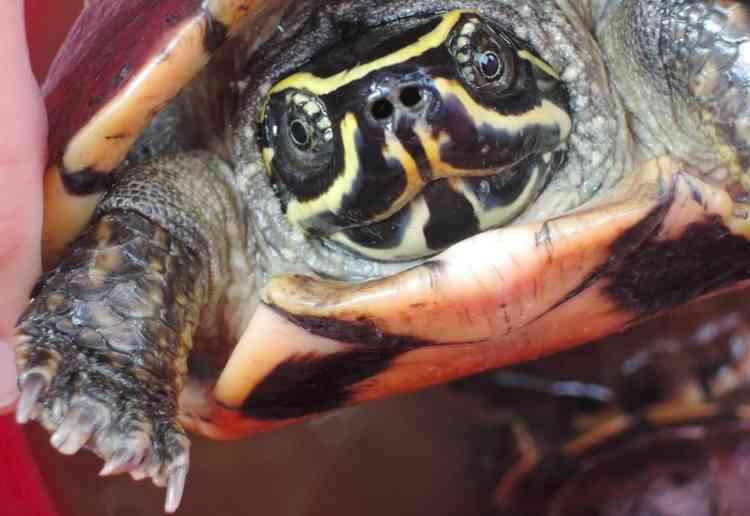 Photo non datée de la nouvelle espèce de tortue, dite mangeuse d'escargot.Elle a été repérée par hasard par un scientifique thaïlandais sur un marché du nord-est de la Thaïlande.
