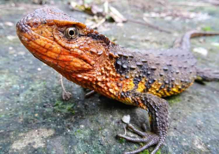 Le crocodile lézard du Vietnam avait été repéré dès 2003 dans la jungle du nord du pays, mais il avait fallu des années pour que les scientifiques réussissent à établir qu'il s'agit bien d'une nouvelle espèce. Il ne resterait plus que 200 spécimens de cette espèce, menacée par les trafiquants et le développement des mines de charbon.