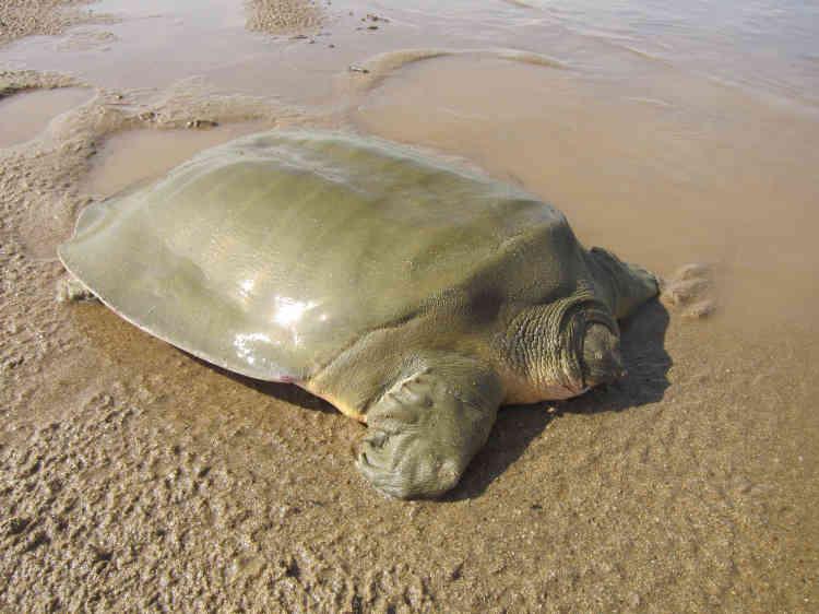 De son côté, laWildlife Conservation Society (WCS), sise à New York, a annoncé la découverte par l'administration des pêches du Cambodge et des communautés locales d'un nid de tortues asiatiques géantes des marais («Heosemys grandis»), en voie de disparition sur un banc de sable du Mékong dans le nord-est du Cambodge. Cette espèce a été inscrite sur la liste des espèces les plus menacées au monde.