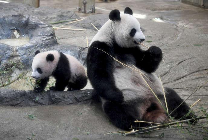 Les 10 kg d'excréments produits chaque jour par un panda adulte sont riches en fibres, car l'animal se nourrit exclusivement de tiges de bambou. En plus de ces précieuses déjections, le pandaproduit environ 50 kg de déchets alimentaires : les grumes végétales qu'il recrache après mastication.