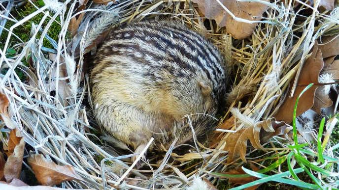 L'écureil à treize bandes hiberne huit à neuf mois par an