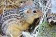 L'écureuil à treize bande ne craint pas le froid.
