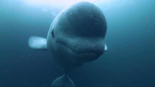 Le béluga est aussi surnommé pour son bavardage le«canari des mers».