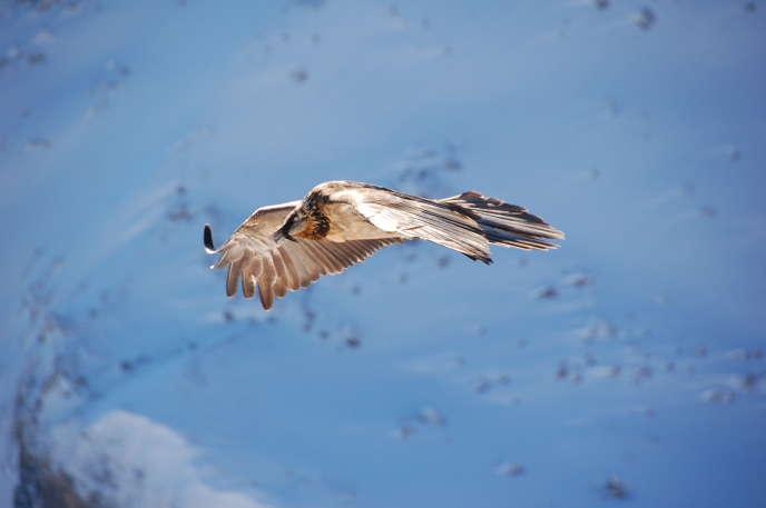 Un gypaète barbu (Gypaetus barbatus) immature dans les Alpes.
