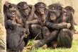 Des bonobos (Pan paniscus) au zoo de San Diego, en 2006.