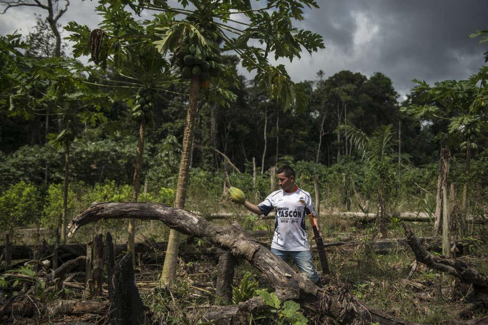 Originaire du Huila, Piño est arrivé à Peñas Roja il y a trois ans avec sa famille. Ancien producteur de café, il espérait gagner un peu plus d'argent dans la région mais la production de coca ne lui rapporte qu'assez pour subvenir au nécessaire : nourriture, école des enfants et vêtements. Il ramasse ici une papaye dans son champ de coca.