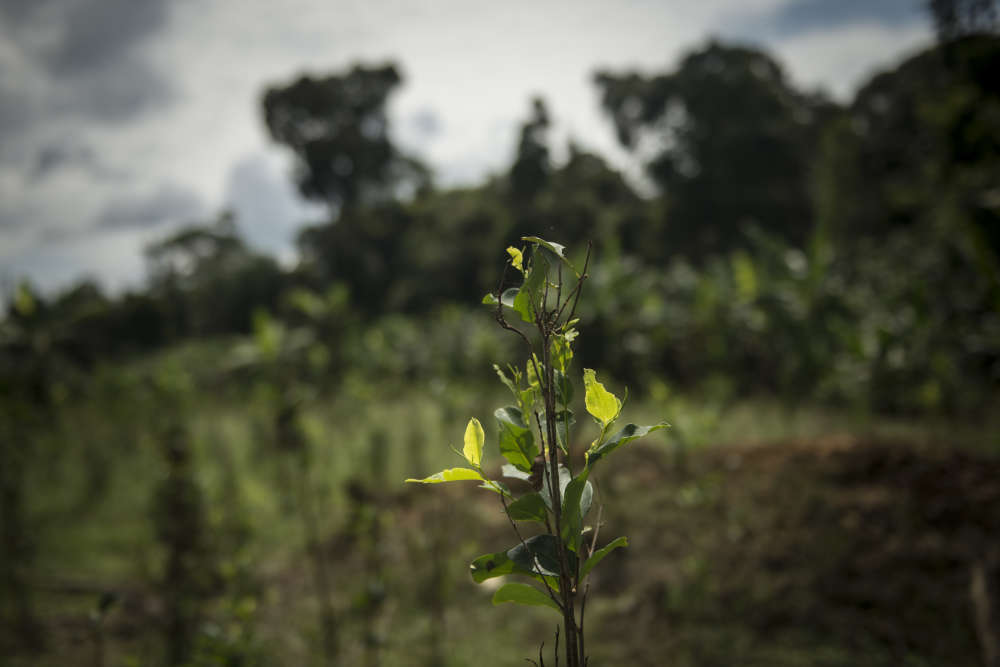 Ce plant de coca a été partiellement arraché par l'armée, action à laquelle les paysans se sont opposés. Ils font en effet partie du plan de substitution de cultures illicites prévu dans l'accord de paix avec les FARC, et signé localement. Mais la mise en place concrète du programme a pris énormément de retard.