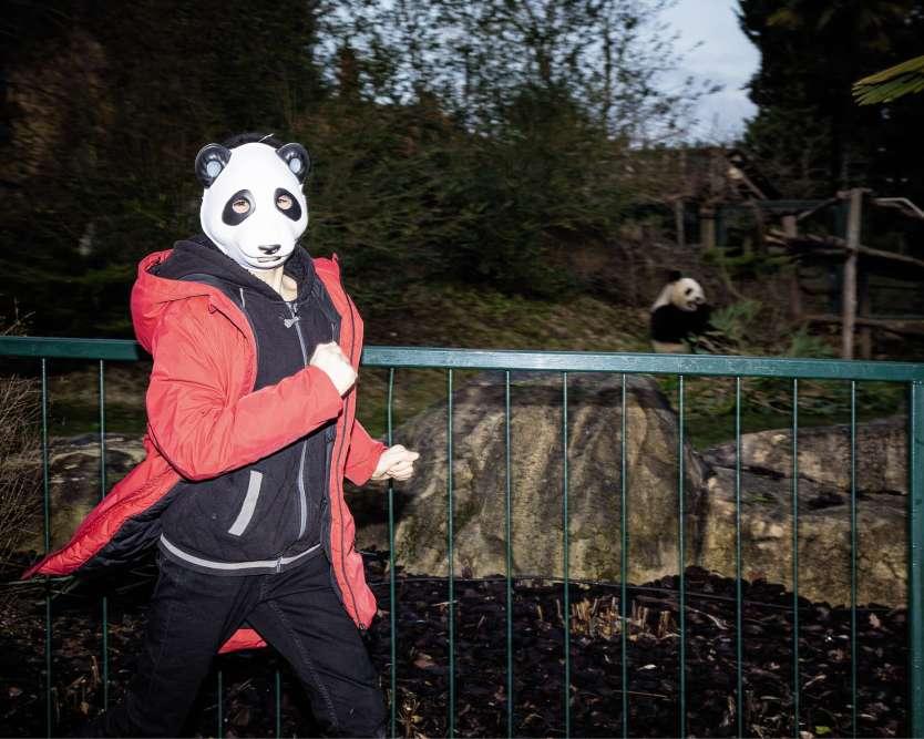 Zoo de Beauval, le 8janvier, 10 h 14. Il pèse maintenant plus de 10kg et arbore une toison de poils de plus en plus drus, qui cachent son petit corps resté longtemps glabre. Yuan Meng, le bébé panda de Beauval, star hexagonale depuis sa naissance en août2017, a eu l'honneur d'une visite de Brigitte Macron en décembre2017 mais est resté jusqu'alors invisible du public, si ce n'est sur un écran télévisé. Cette précaution prendra fin le 13janvier, jour où le petit animal sera présenté officiellement aux visiteurs et rejoindra son enclos, cage dorée où le public pourra, cette fois, l'apercevoir derrière une grande baie vitrée.