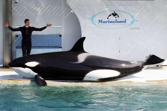 Un employé du Marineland d'Antibes (Alpes-Maritimes) entraîne une orque dans l'un des bassins, en 2016.