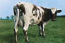 La vache Lulubelle III en couverture de l'albumAtom Heart Mother(1970).