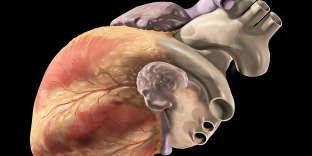 Cœur humain, illustration.