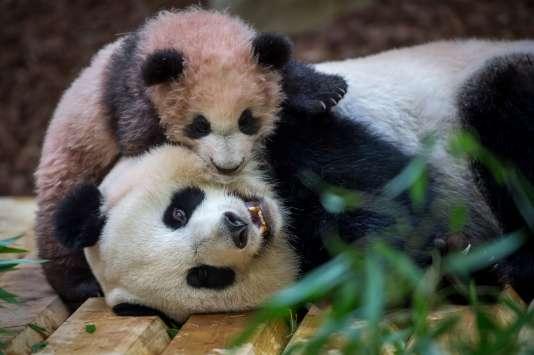 Pour la première fois depuis sa naissance, le bébé pandaa pu montrer, samedi13janvier 2018, aux visiteurs du zoo de Beauval la couleur de son pelage, encore gris et blanc rosé.