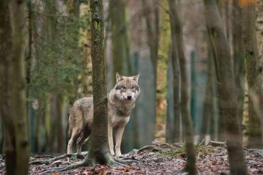 Un loup dans son enclos, au zoo de Thale (Allemagne), le 4 janvier.