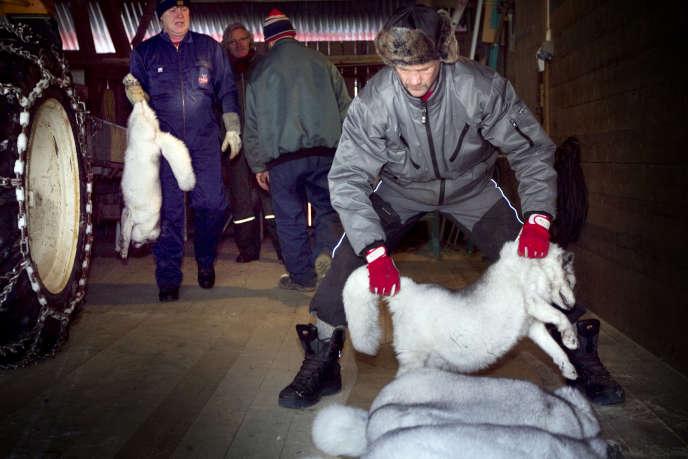 Un élevage de renards polaires, à Gjovik, en Norvège.