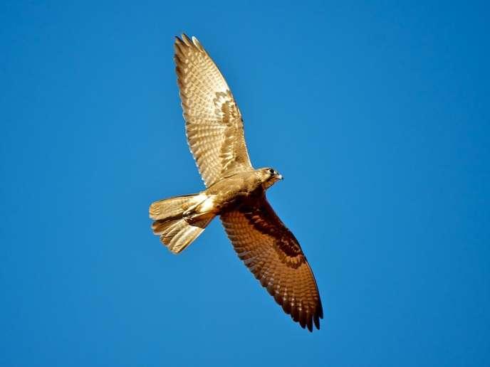 Le faucon brun transporterait le feu pour agrandir ses territoires de chasse.