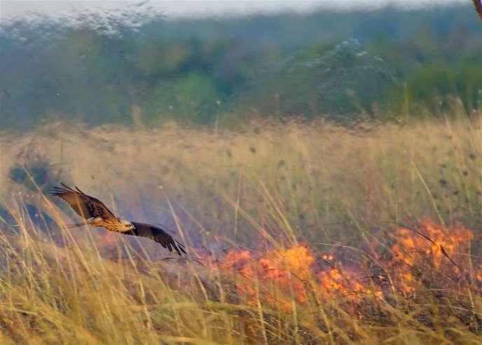 Un milan noir survolant un feu de brousse.