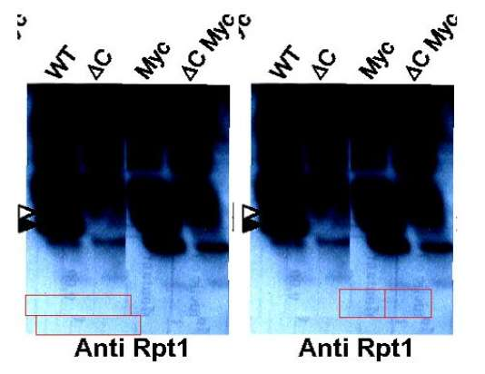 Reproduction d'une figure tirée d'un article co-signé par Anne Peyroche en 2012 dans la revue PNAS, ayant fait l'objet d'un signalement anonyme sur le site PubPeer.