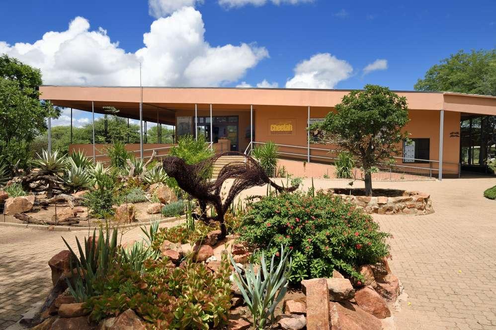 Le Cheetah Conservation Fund (CCF) a été créé en 1991 àOtjiwarongo, en Nambie, par l'Américaine Laurie Marker pour protéger le félin.