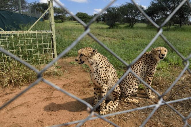 En Namibie, à Otjiwarongo, au Cheetah Conservation Fund, un centre de recherche et d'éducation, des guépards en captivité temporaire, seront relachés dans le bush.