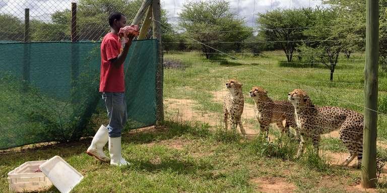 Un soigneur nourrit les guépards pensionnaires du Cheetah Conservation Fund, à Otjiwarongo, en Namibie.