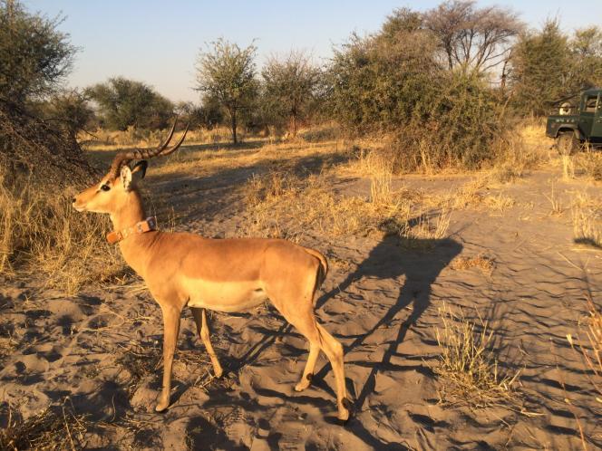 Un impala équipé d'un collier électronique dans la savane du Botswana.