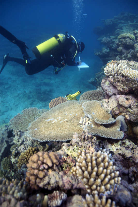 Joleah Lamb, première auteure de l'étude, inspectant la Grande Barrière de corail.