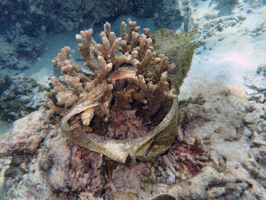 Des coraux « étouffés» par du plastique.