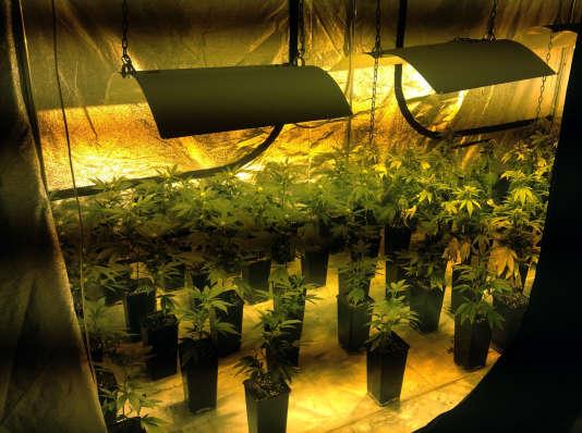 Trois cents pieds de cannabis saisis à Andolsheim (Grand Est), le 11 novembre 2014.