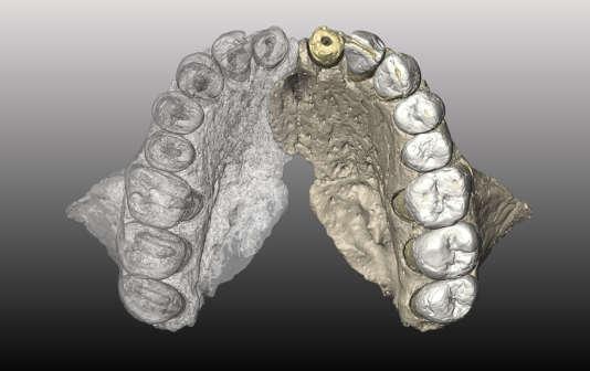 Reconstitution virtuelle de la mâchoire supérieure du fossile Mislaiya-1. La partie «transparente», à gauche sur l'écran,est l'image en miroir de la partie retrouvée sur le site israélien.