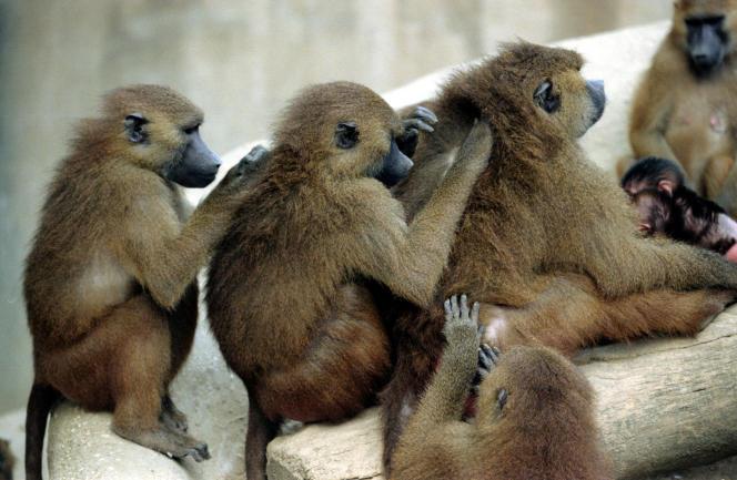 Des babouins dans leur enclos du zoo de Vincennes.