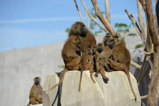 Une famille de babouins au zoo de Vincennes en 2015.