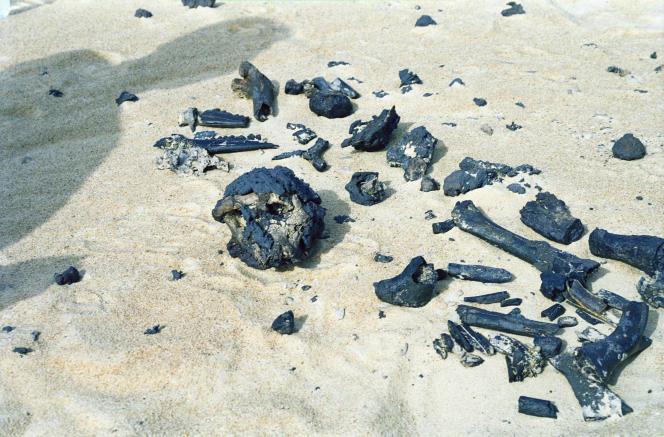 Les ossements de Toumaï, découverts, en 2001, au Tchad. A gauche, le crâne. A droite, le fémur au cœur de la polémique.