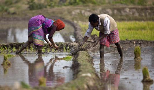 Une rizière, à Guwahati, dans le nord-est de l'Inde, le 30 janvier.