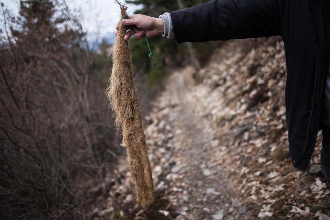 Une «queue de renard» composée de racines qui bouchait une canalisation d'eau, tenue par le maire Serge Beschi de La Motte-d'Aveillans (Isère), le 25 Janvier.