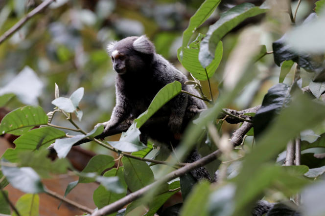 Plus de la moitié des singes morts en janvier dans l'Etat de Sao Paulo ontété empoisonnés ou victimes de coups infligés par l'homme.