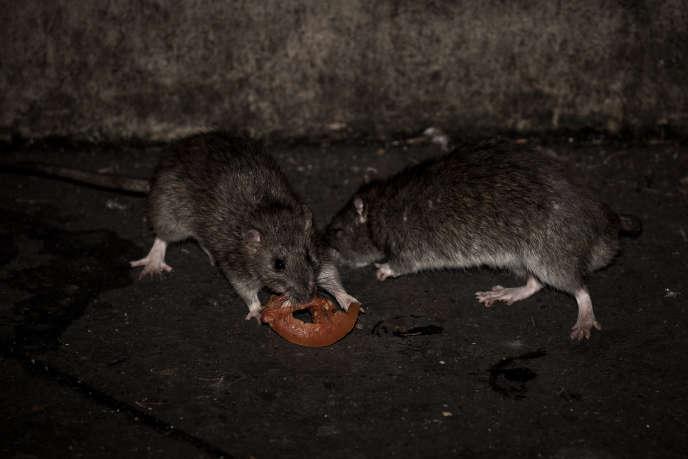 Des rats à Paris, en décembre 2016.