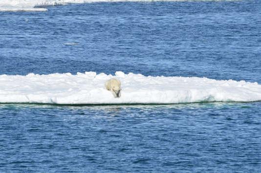 Un ours blanc (Ursus maritimus) se repose sur la banquise.