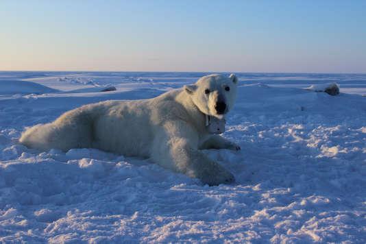 Un ours blanc (Ursus maritimus), équipé d'un collier GPS-vidéo sur la banquise de la mer de Beaufort, au nord de l'Alaska.