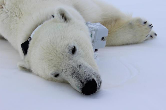 Un ours blanc muni d'un collier GPS équipé d'une caméraet de capteurs de pointe afin d'enregistrer son activité, ses mouvements et son comportement.