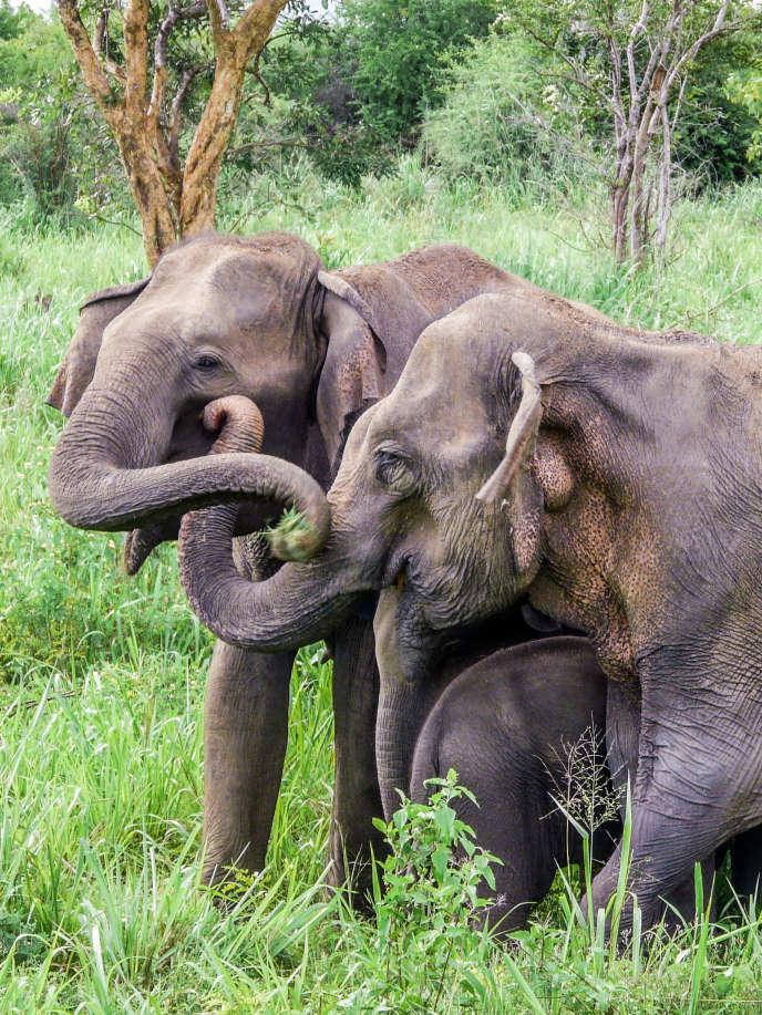 Apeurés par le son des abeilles, deux éléphants du Sri Lanka se touchent la trompe.