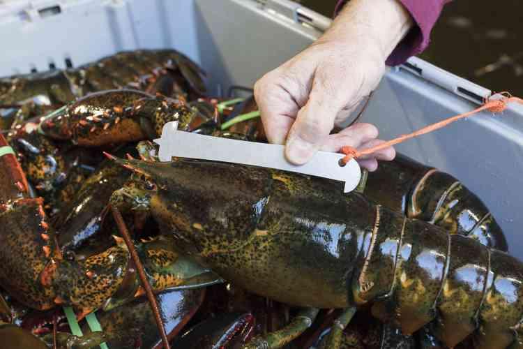 Les pêcheurs ne gardent que les homards dont la longueur de la carapace est comprise entre 8,3 centimètres et 12,7 centimètres. Les plus petits sont rejetés, tout comme les plus gros, excellents reproducteurs, et les femelles pleines d'œufs. Dans ce cas, elles sont poinçonnées pour être rejetées au cas où elles seraient repêchées.