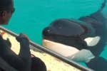 Des scientifiques ont réussi à faire imiter des mots à une orque du Marineland d'Antibes, selon des recherches publiées en janvier.