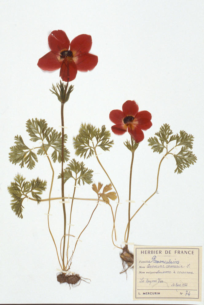 Anémone à couronne de l'Herbier national, à Paris, qui compte pas moins de 6 millions de spécimens. C'est le plus grand et le plus ancien au monde.